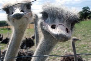 OstrichFarm01